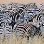 Zebras Dazzle and Innovate